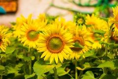 Schöne Sonnenblumen stockbild
