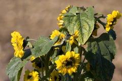 Schöne Sonnenblumen Stockfotografie