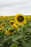 Schöne Sonnenblumen Stockfotos
