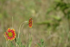 Schöne Sonnenblumen Lizenzfreie Stockbilder