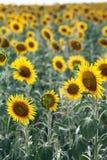 Schöne Sonnenblumen auf dem Gebiet Lizenzfreie Stockbilder