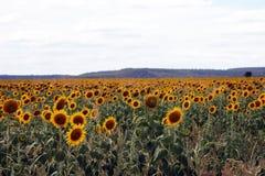 Schöne Sonnenblumen auf dem Gebiet Lizenzfreie Stockfotos
