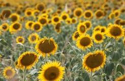 Schöne Sonnenblumen auf dem Gebiet Stockbilder