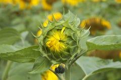 Schöne Sonnenblumen auf einem Gebiet Stockfotografie