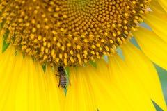 Schöne Sonnenblumen des Nahaufnahmeblütenstaubs, die mit Biene auf dem Gebiet blühen lizenzfreies stockfoto