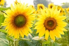Schöne Sonnenblumen, die auf dem Feld blühen Lizenzfreies Stockfoto
