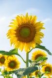 Schöne Sonnenblumen, die auf dem Gebiet blühen Stockbilder