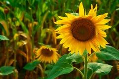 Schöne Sonnenblumen, die auf dem Gebiet wachsen Stockbild