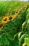 Schöne Sonnenblumen, die auf dem Gebiet wachsen Stockfotografie