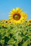 Schöne Sonnenblumen im blauen Himmel Lizenzfreies Stockbild