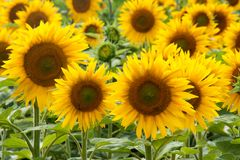 Schöne Sonnenblumen im Sommer Lizenzfreies Stockbild