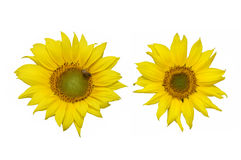 Schöne Sonnenblumen lokalisiert auf weißem Hintergrund Stockfoto