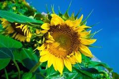 Schöne Sonnenblumen mit blauem Himmel Stockfotos