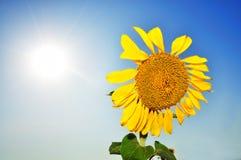 Schöne Sonnenblumen mit blauem Himmel und glänzender Sonne Stockfotos