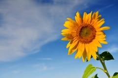 Schöne Sonnenblumen mit blauem Himmel und Wolken Lizenzfreie Stockfotos