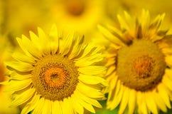 Schöne Sonnenblumen von Toskana, Italien Lizenzfreie Stockfotos