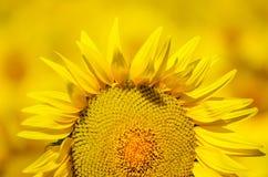 Schöne Sonnenblumen von Toskana, Italien Lizenzfreies Stockfoto