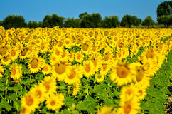 Schöne Sonnenblumen von Toskana, Italien Lizenzfreie Stockfotografie