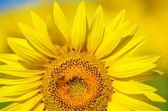 Schöne Sonnenblumen von Toskana, Italien Stockbilder