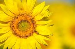 Schöne Sonnenblumen von Toskana, Italien Lizenzfreie Stockbilder