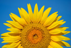 Schöne Sonnenblumen von Toskana, Italien Lizenzfreies Stockbild