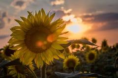 Schöne Sonnenblumenanlage bei Sonnenuntergang Lizenzfreies Stockbild