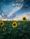Schöne Sonnenblumenanlage bei Sonnenuntergang, Teil 2: Stockbilder