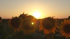 Schöne Sonnenblumenblumen auf einem Gebiet in den Strahlen eines schönen Sonnenaufgangs Nahaufnahme Landwirtschaftliches Geschäft stock video footage