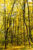 Schöne sonnige Herbstlandschaft des Waldes mit gefallenen Blättern und gelben Bäumen stockbilder