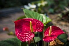 Schöne Spadix- oder Flamingoblume Lizenzfreies Stockbild