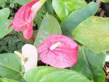 Schöne Spadixblume im Garten, selektiver Fokus Lizenzfreies Stockbild