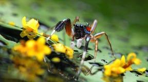 Schöne Spinne auf Glas mit gelber Blume, springende Spinne in Thailand Lizenzfreies Stockbild