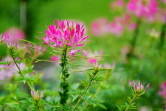 Schöne Spinnenblume in der Blüte Stockfotos