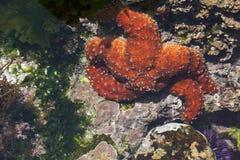 Schöne Starfish im flachen Gezeiten-Pool Stockfotos
