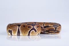 Schöne starke Pythonschlange stockfotos