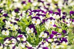 Schöne Stiefmütterchenblumen im Garten Stockfotos