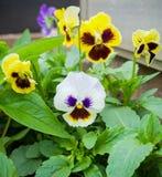 Schöne Stiefmütterchenblumen im Sommergartenpark lizenzfreie stockfotografie