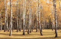 Schöne Szene im gelben Herbstbirkenwald im Oktober mit gefallenem gelbem Herbstlaub stockfotografie