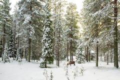 Schöne szenische Ansicht von Snowy Forest With Tall Pine Trees und A Stockfoto