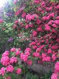 Schöne szenische Kamloops-Rosablumen Stockbild