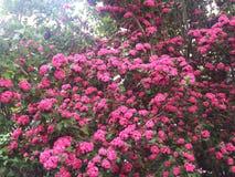 Schöne szenische Kamloops-Rosablumen Stockfotos