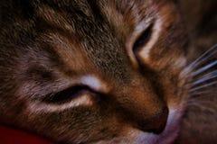 Schöne Tabby Cat nannte das Willow gefangene Nickerchen machen Stockfotografie