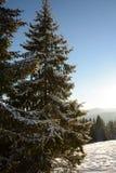 Schöne Tannenbäume in den Bergen, bedeckt mit Schnee Stockfoto