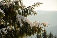 Schöne Tannenbaumaste in der Gebirgsnahaufnahme, bedeckt mit Schnee Stockfoto