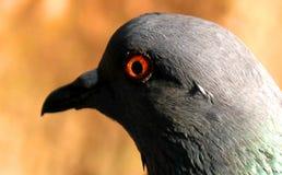 Schöne Taube auf Hintergrund, lokalisierte Taube Lizenzfreie Stockfotografie