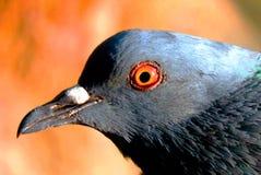Schöne Taube auf Hintergrund, lokalisierte Taube Lizenzfreies Stockbild