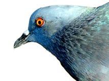 Schöne Taube auf Hintergrund, lokalisierte Taube Stockfoto