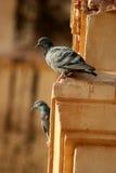 Schöne Tauben Stockfotografie