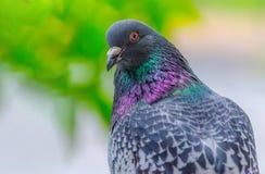 Schöne Taubennahaufnahme auf einem unscharfen Hintergrund Das Foto zeigt eine Taube, die mit einem genauen Blick halb-gedreht wir stockfoto