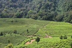 Schöne Teefelder in Puncak, Indonesien Lizenzfreie Stockfotos
